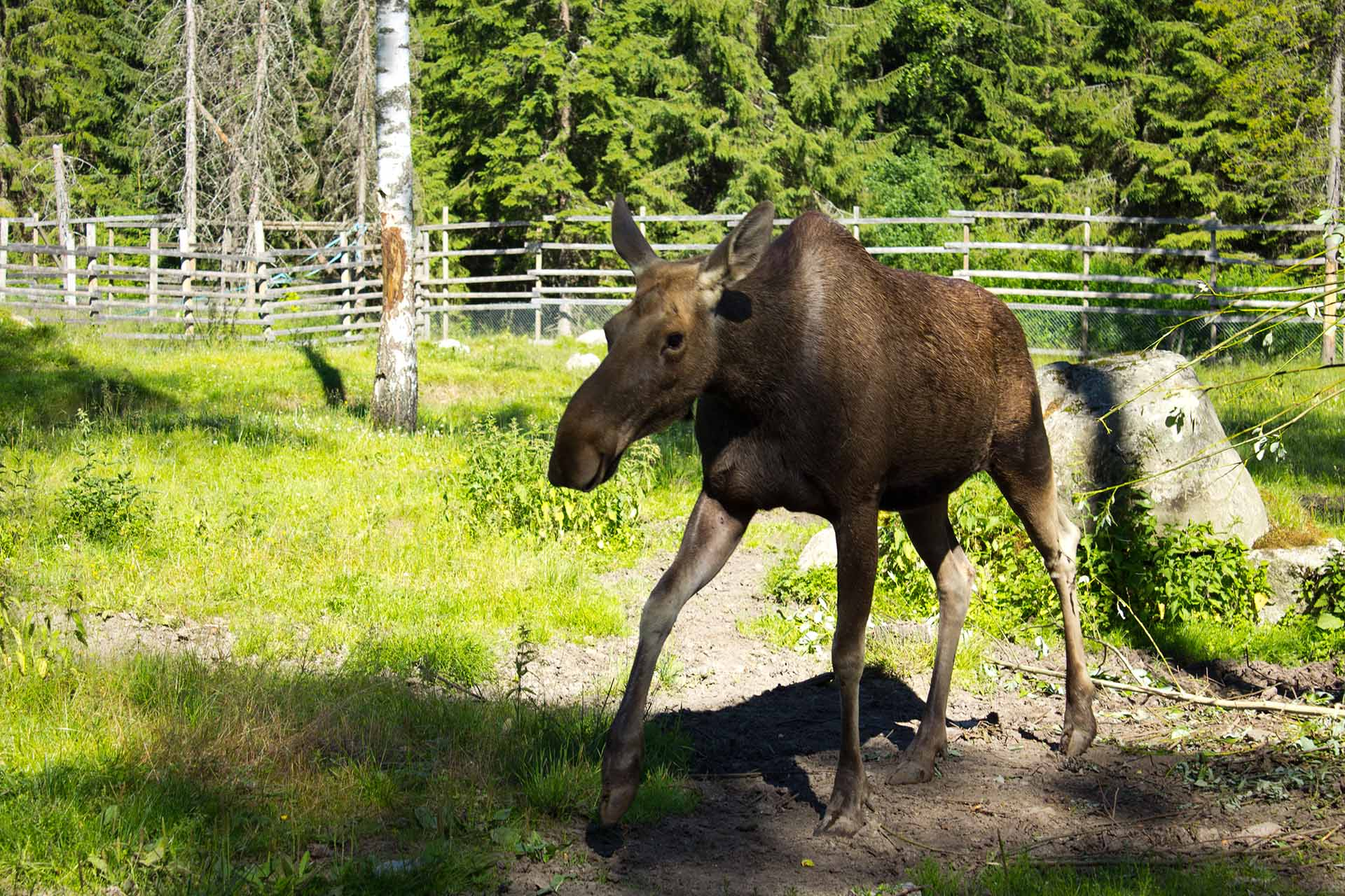 Have you ever kissed a moose?